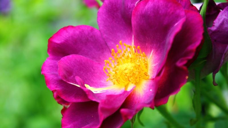 A Deep, Dark Rose